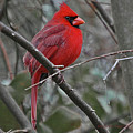 Crimson Cardinal by DigiArt Diaries by Vicky B Fuller