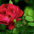 Crimson Red Rose By Kaye Menner by Kaye Menner