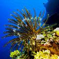 Crinoid At Pakin Atoll2 by Dan Norton