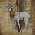 Critically Endangered Dama Gazelle by TN Fairey