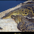 Crocodile by Arik Baltinester