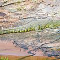 Crocodile by Marek Poplawski