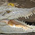 Crocodile Rock by Kenneth Albin
