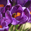 Crocus And Bee by Marilyn Hunt