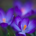 Crocus Blooms by Mike Reid