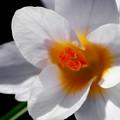 Crocus Blossom by Venetta Archer