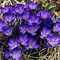 Crocus by Dorothy Binder