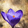 Crocus Focus Stacked 2 by Clifford Pugliese