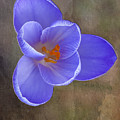 Crocus Focus Stacked 3 by Clifford Pugliese