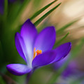 Crocus Light by Mike Reid