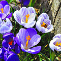 Crocus Tommasinianus by Thomas R Fletcher