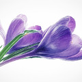 Crocuses - Impressions by Susie Peek