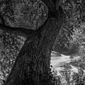Crooked Oak Black And White by Jeffrey Miller