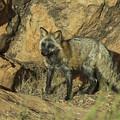 Cross Fox On Red Rocks by Melody Watson
