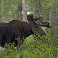 Cross Moose by Eric  Nelson