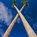 Crossed Palm Trees by Rich Iwasaki