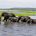 Crossing The River Chobe  by Tony Murtagh