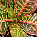 Croton - A Center View by Lucyna A M Green