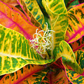 Croton Leaves by Ron Dahlquist - Printscapes