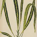 Croton Variegatum Angustifolium by English School