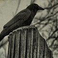 Crow Perched On A Old Column In Rain by Gothicrow Images