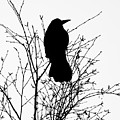 Crow Rook Perched In A Tree With Pare Branches In Winter by Philip Openshaw