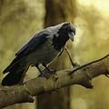 Crow Sitting On The Branch. by Jaroslaw Blaminsky