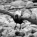 Crow Takes Off by Philip Openshaw