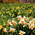 Crowd Of Daffodils by Susan Cole Kelly