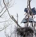 Crowded Nest by J H Clery