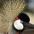 Crown Crane Close Up by Danny Yanai