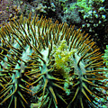 Crown Of Thorns In Pohnpei by Dan Norton
