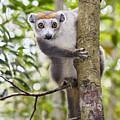 Crowned Lemur Madagascar by Konrad Wothe