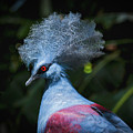 Crowned Pigeon by Mitch Shindelbower