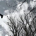 Crows In Cottonwoods by Ric Bascobert