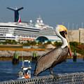 Cruising Pelican by Susanne Van Hulst