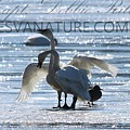 Crystal Swans 9204 by Captain Debbie Ritter