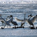 Crystal Swans 9243 by Captain Debbie Ritter