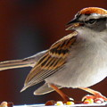 A Hungry Chipping Sparrow by Earl Williams Jr