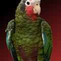 Cuban Amazon Parrot by Debi Dalio