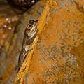 Cuban Tree Frog by Ed Gleichman