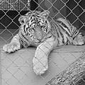 Cubs by Scott Davis
