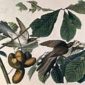 Cuckoo by John James Audubon