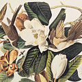Cuckoo On Magnolia Grandiflora by John James Audubon
