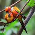 Cuddling Parrots by Pradeep Raja Prints