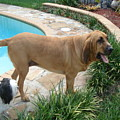 Cujo And Lucky By The Pool by Val Oconnor