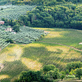 Cultivated Vineyards Tuscany  Italy by Michalakis Ppalis
