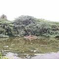 Tree Fallen In Water by Parveen Shrivastava