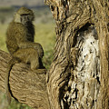 Curious Baboon by Michele Burgess