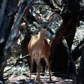 Curious Bambi by Douglas Barnard